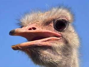 Conoce la importancia de las avestruces en la producción de Mercedes-Benz