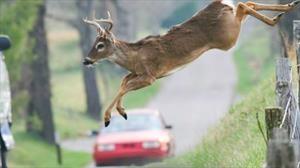 ¿Por qué aumentan los accidentes de automóviles con animales durante el otoño?