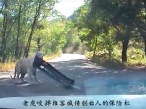 Video: Tigre se roba el parachoques de un carro