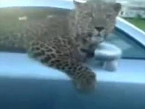 Video: Conductor de un Audi TT viaja con un leopardo