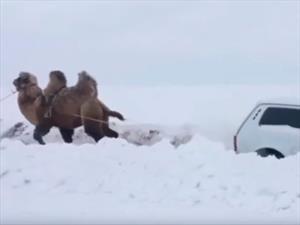 Usan un camello para remolcar un auto en la nieve