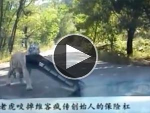 Tigre arranca parachoques de un Volkswagen Jetta