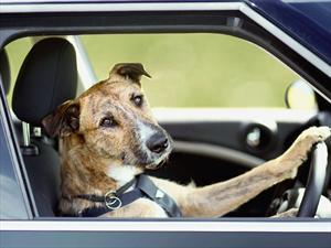 El perro que sabe manejar un MINI Countryman
