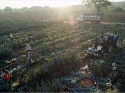 Crean plástico natural a base de agave