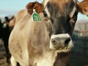 Toyota Mirai es alimentado con excremento de vaca