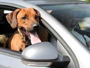 Así debe viajar tu perro en el carro