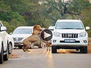 Leones cazan y comen un antílope entre los autos